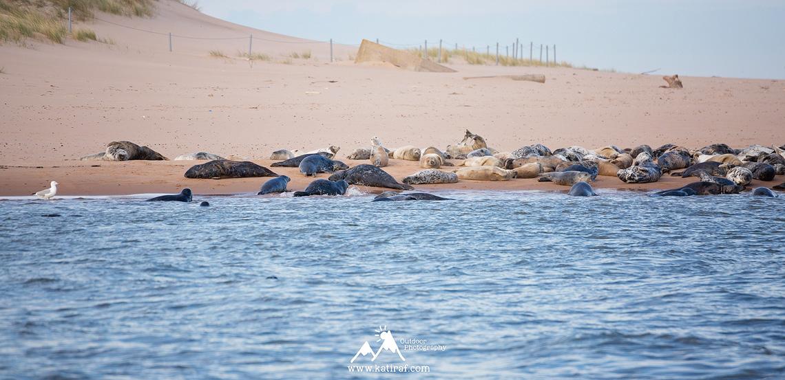 Plaża Newburgh i kolonia fok, Aberdeenshire, Szkocja www.katiraf.com