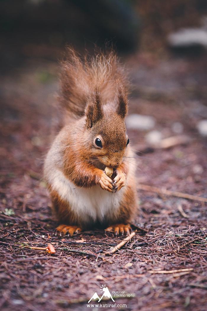 Rude wiewiórki w Yorkshire Dales, Snaizeholme Trail, www.katiraf.com